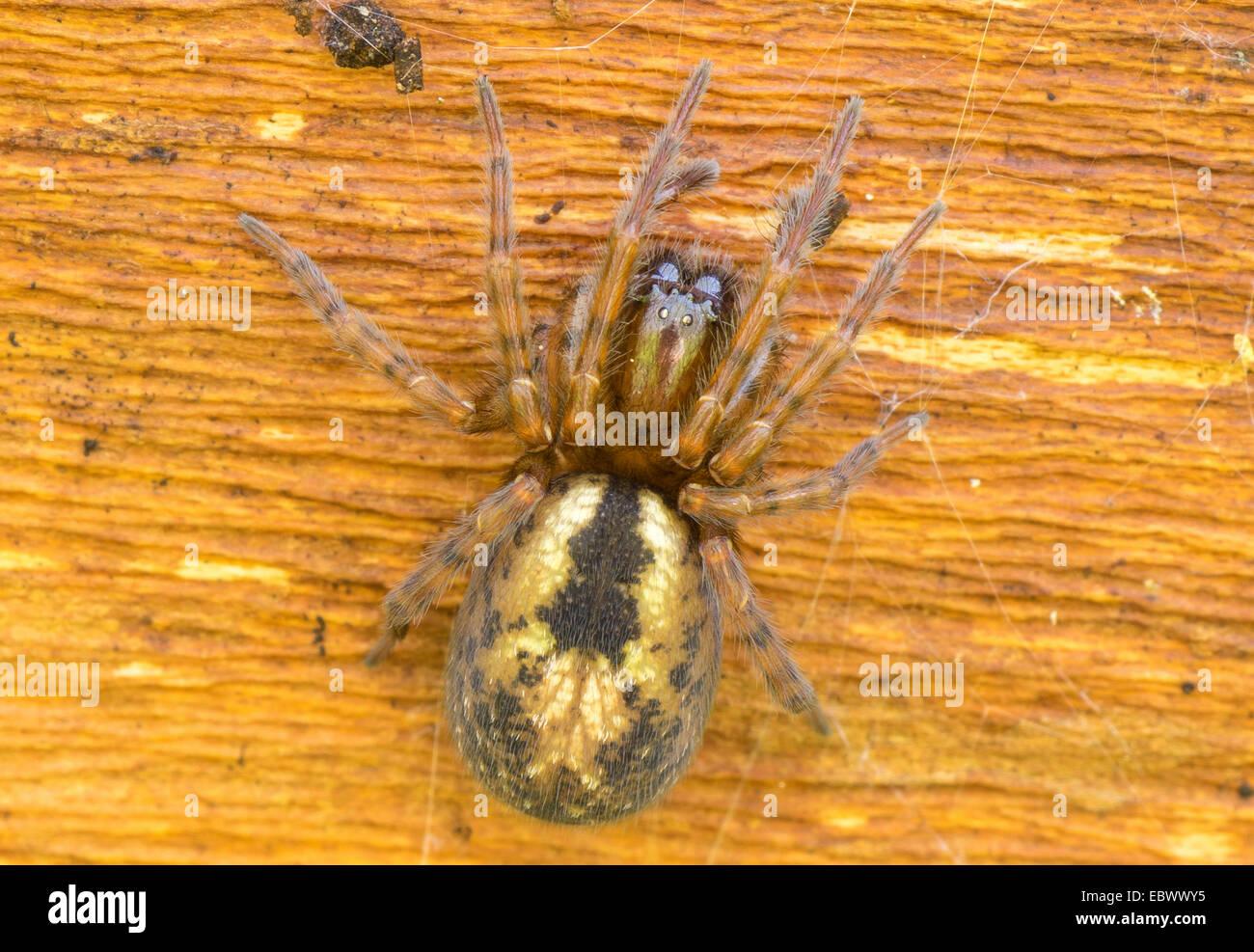 Lace-weaver (Amaurobius spec.), on deadwood, Germany, Bavaria, Oberbayern, Upper Bavaria - Stock Image