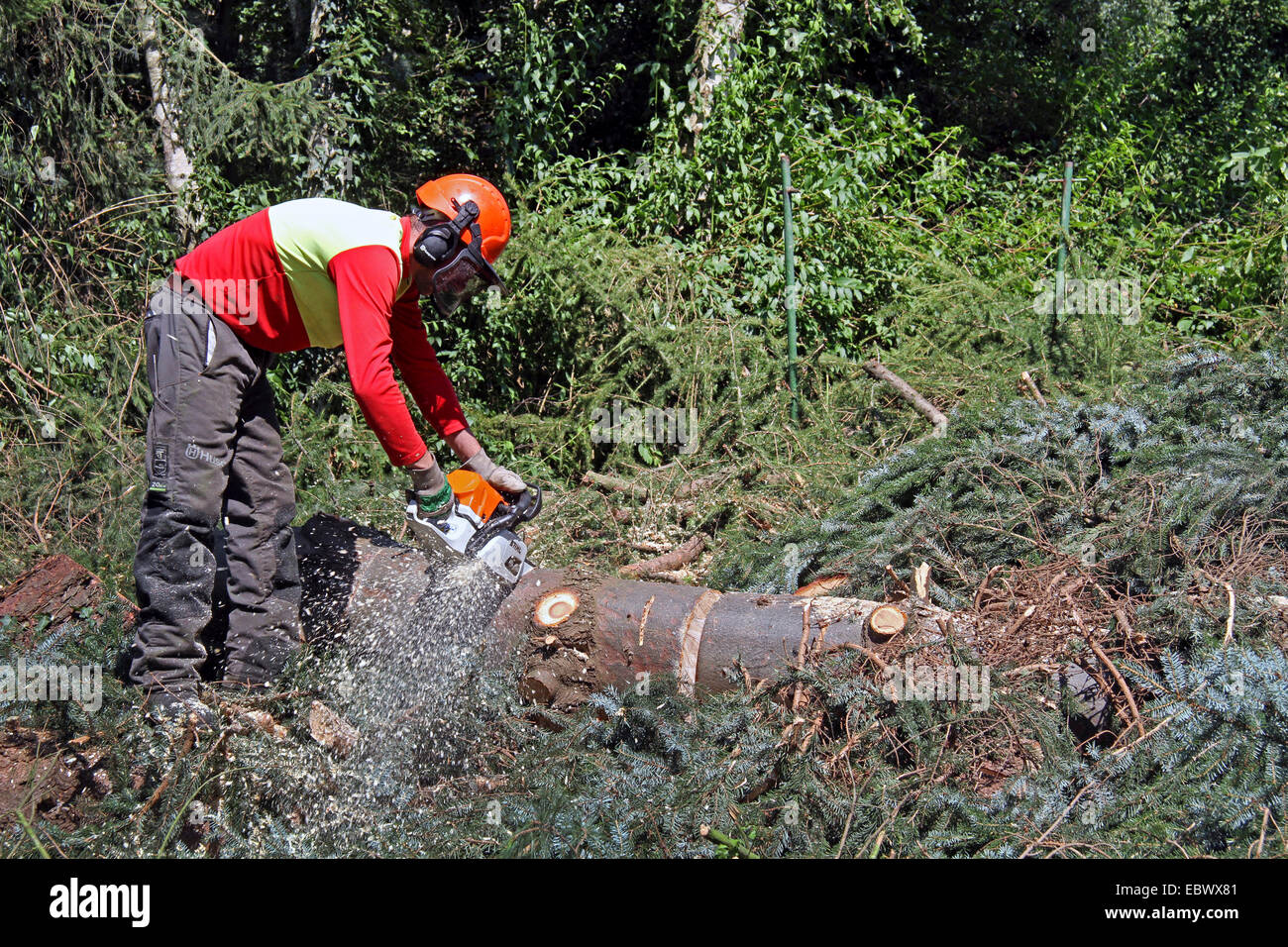 lumberjack cutting up logs of conifers, Germany - Stock Image
