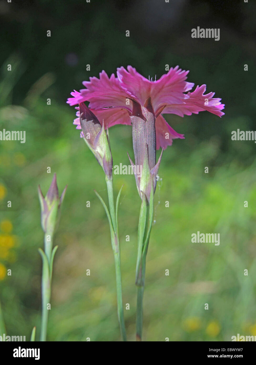 Ragged Pink (Dianthus seguieri), flower, Germany, Baden-Wuerttemberg - Stock Image