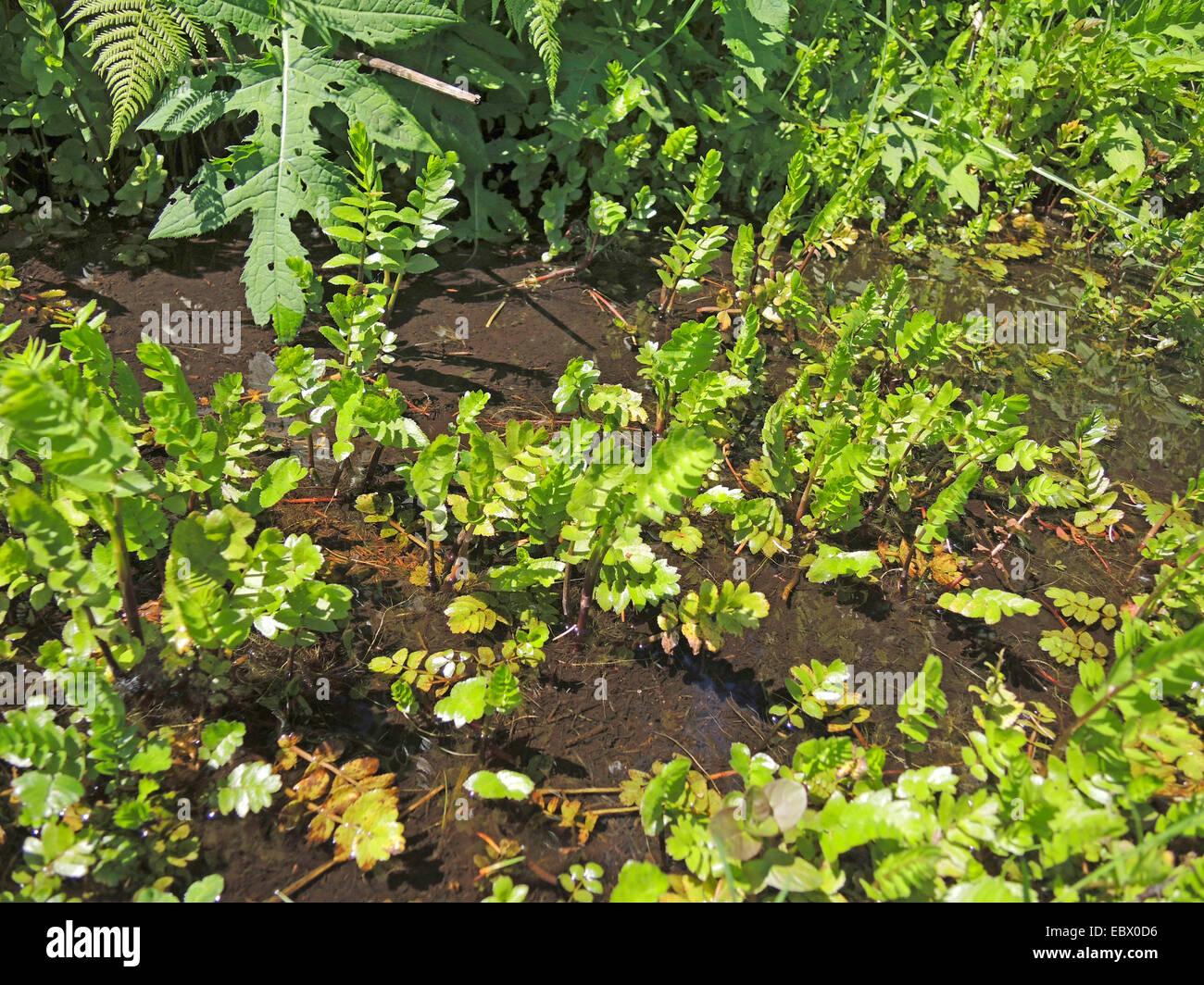 lesser water-parsnip, wild parsnip (Berula erecta), leaves in a ditch, Germany, North Rhine-Westphalia Stock Photo