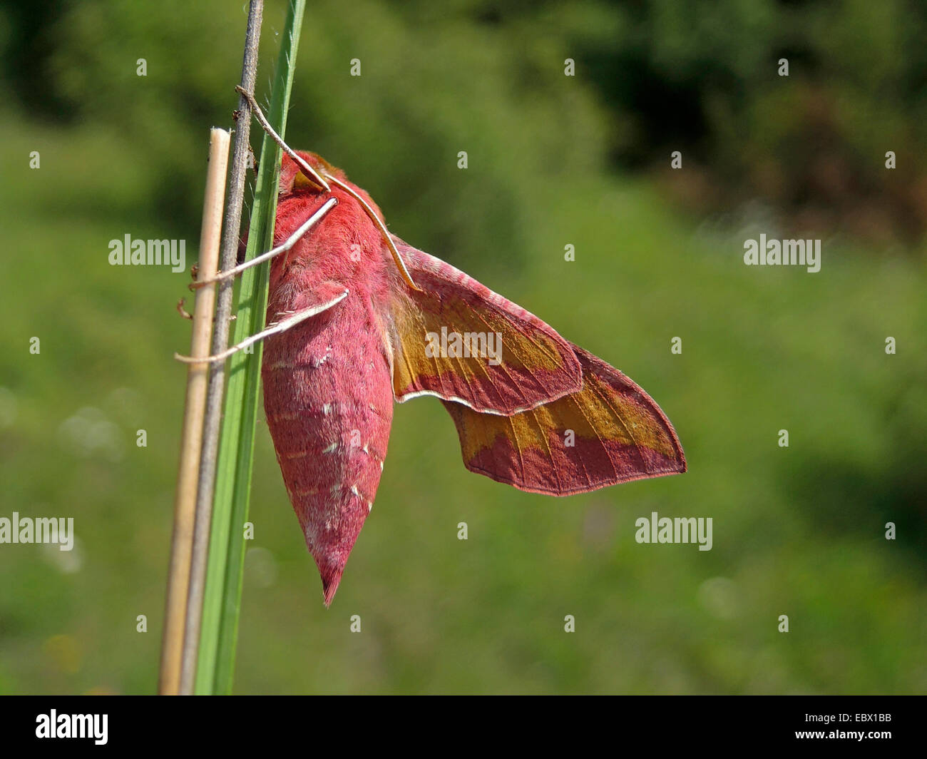 small elephant hawkmoth (Deilephila porcellus), sitting at a glass blade, Germany, Baden-Wuerttemberg - Stock Image