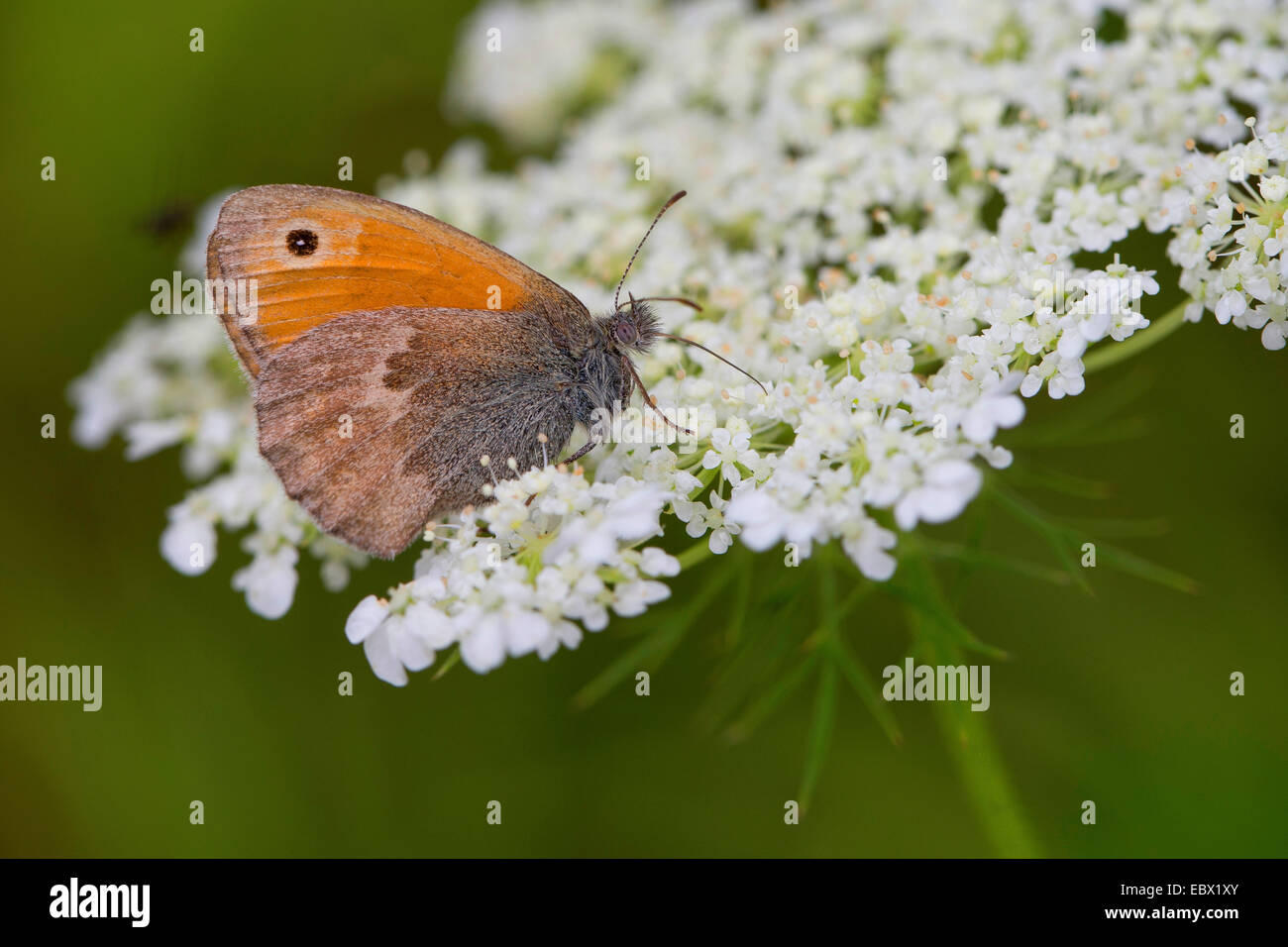 small heath (Coenonympha pamphilus), visiting the flowers of Daucus carota, Germany - Stock Image