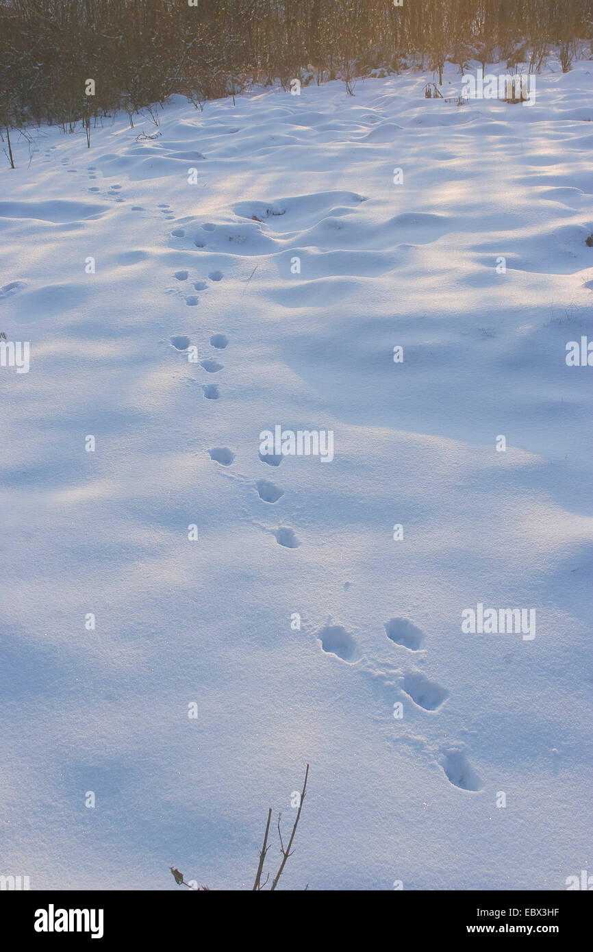 European hare (Lepus europaeus), footprints in the snow, Germany - Stock Image