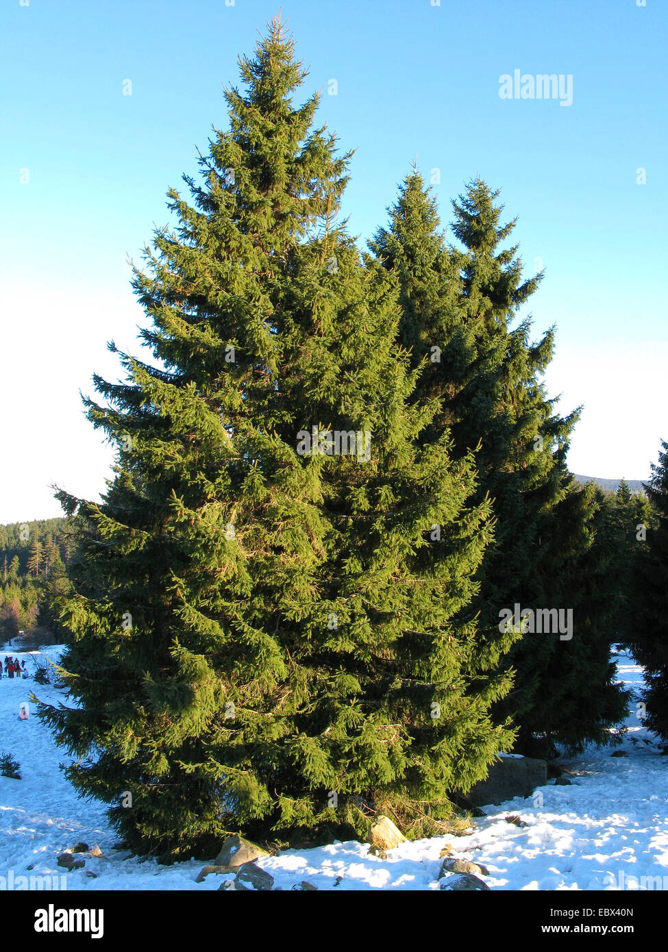 Norway spruce (Picea abies), in winter, Germany - Stock Image