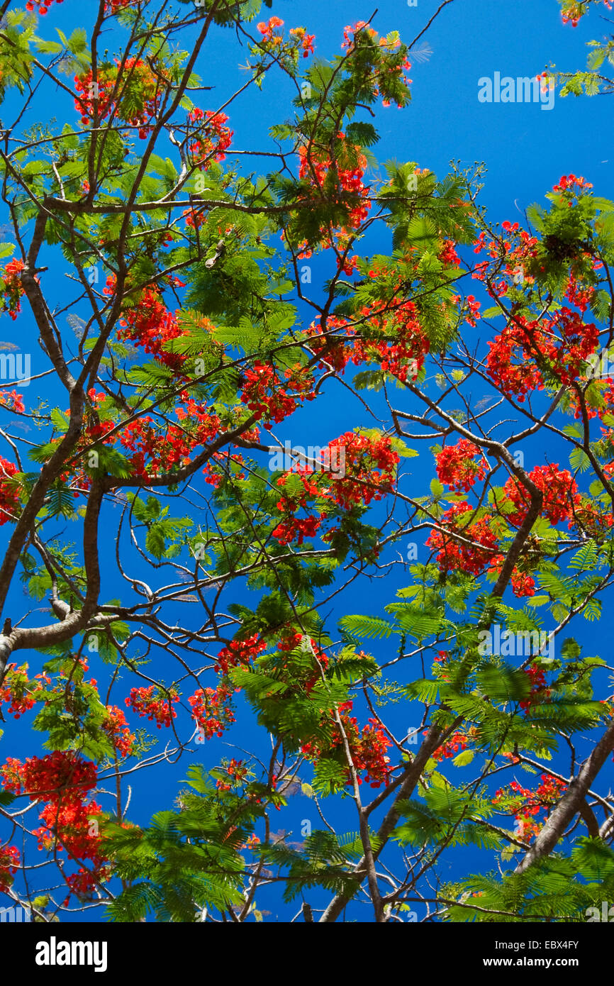 royal poinciana, Flame Tree (Delonix regia), blooming branch, India, Andaman Islands - Stock Image