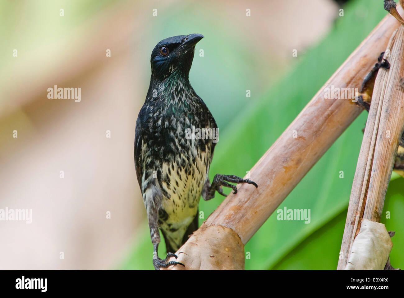 Philippine glossy starling (Aplonis panayensis), young individual, India, Andaman Islands - Stock Image