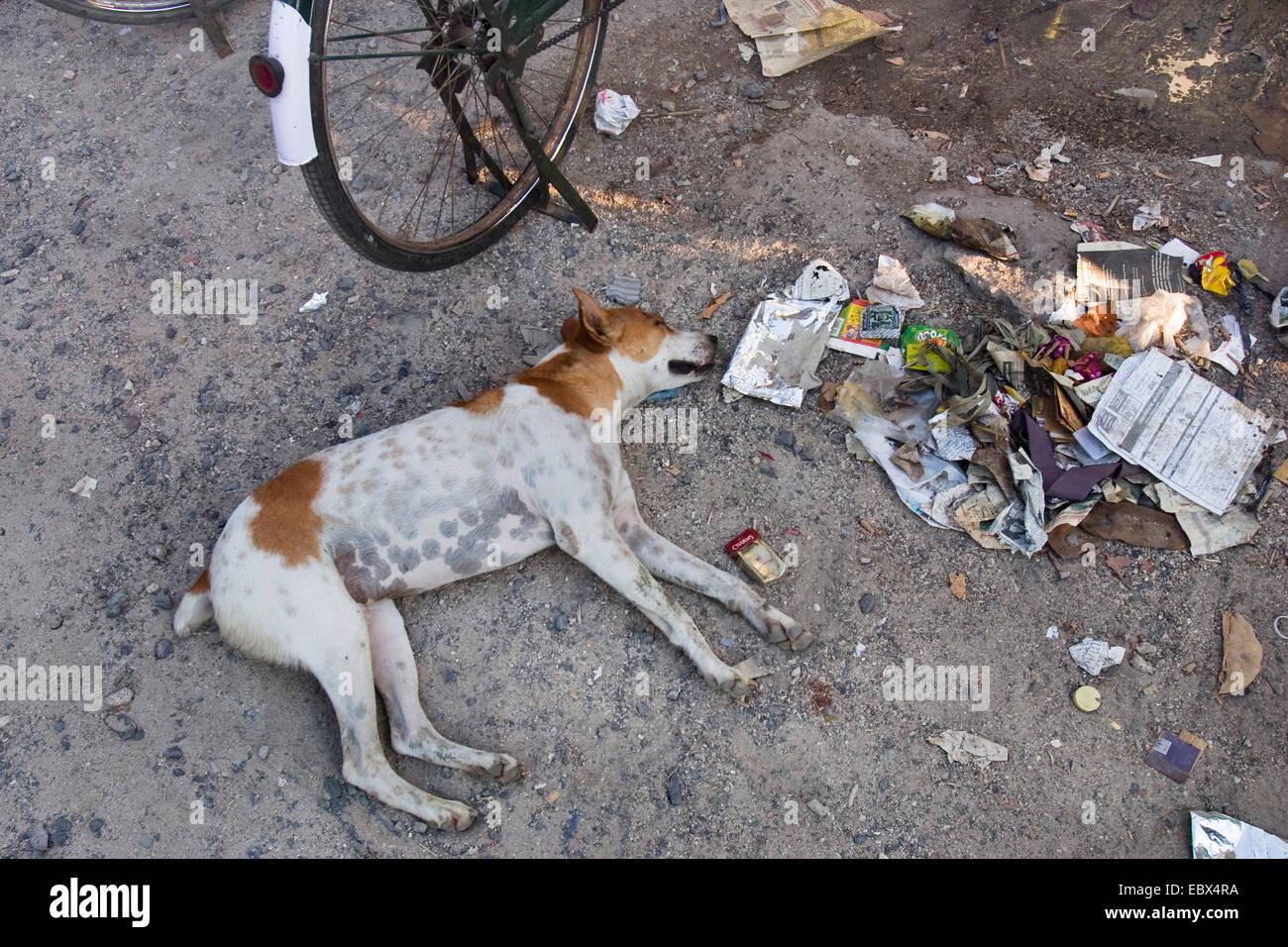 dog sleeping in the street beside garbage, India, Andaman Islands - Stock Image