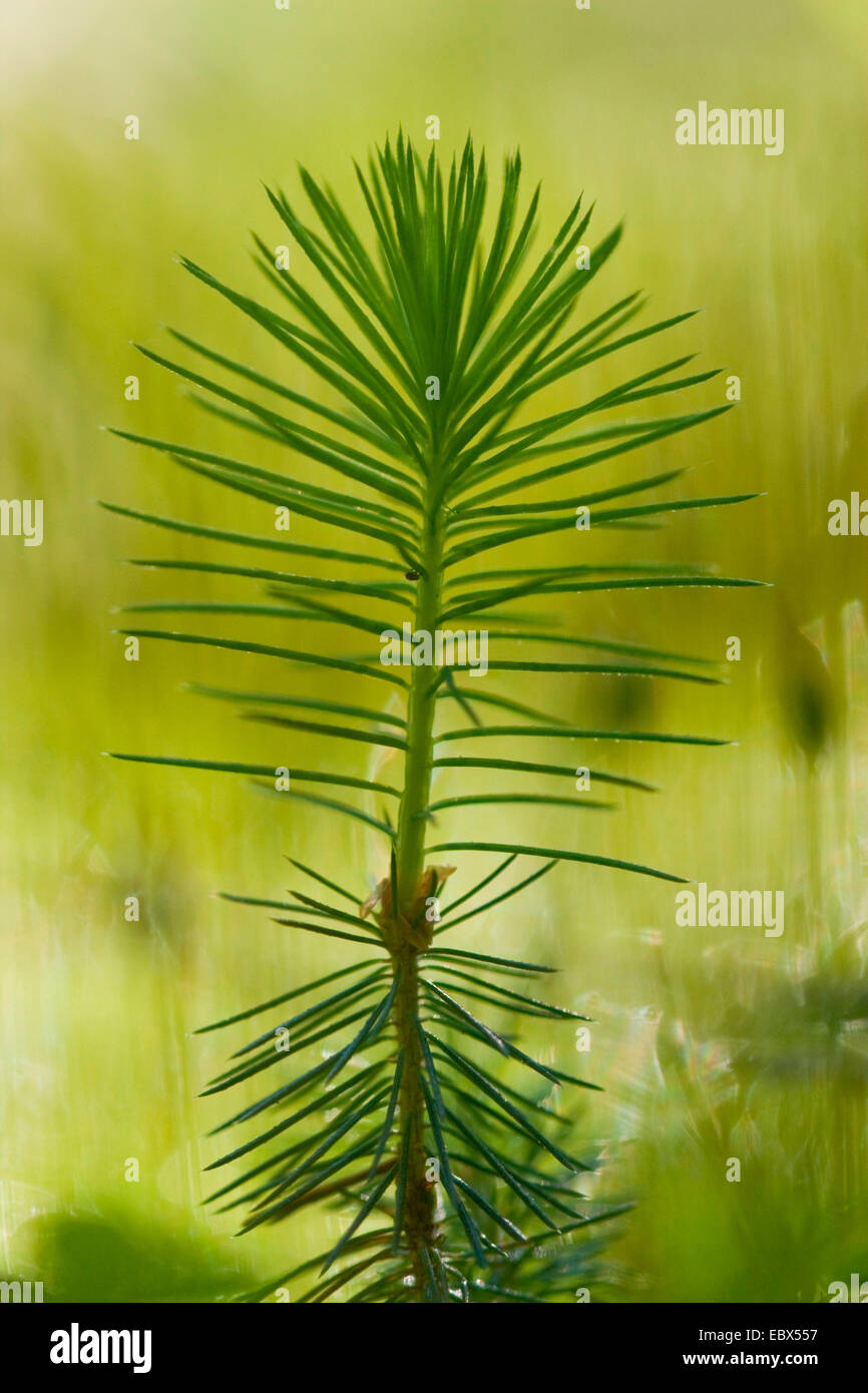 Norway spruce (Picea abies), seedling, Germany - Stock Image