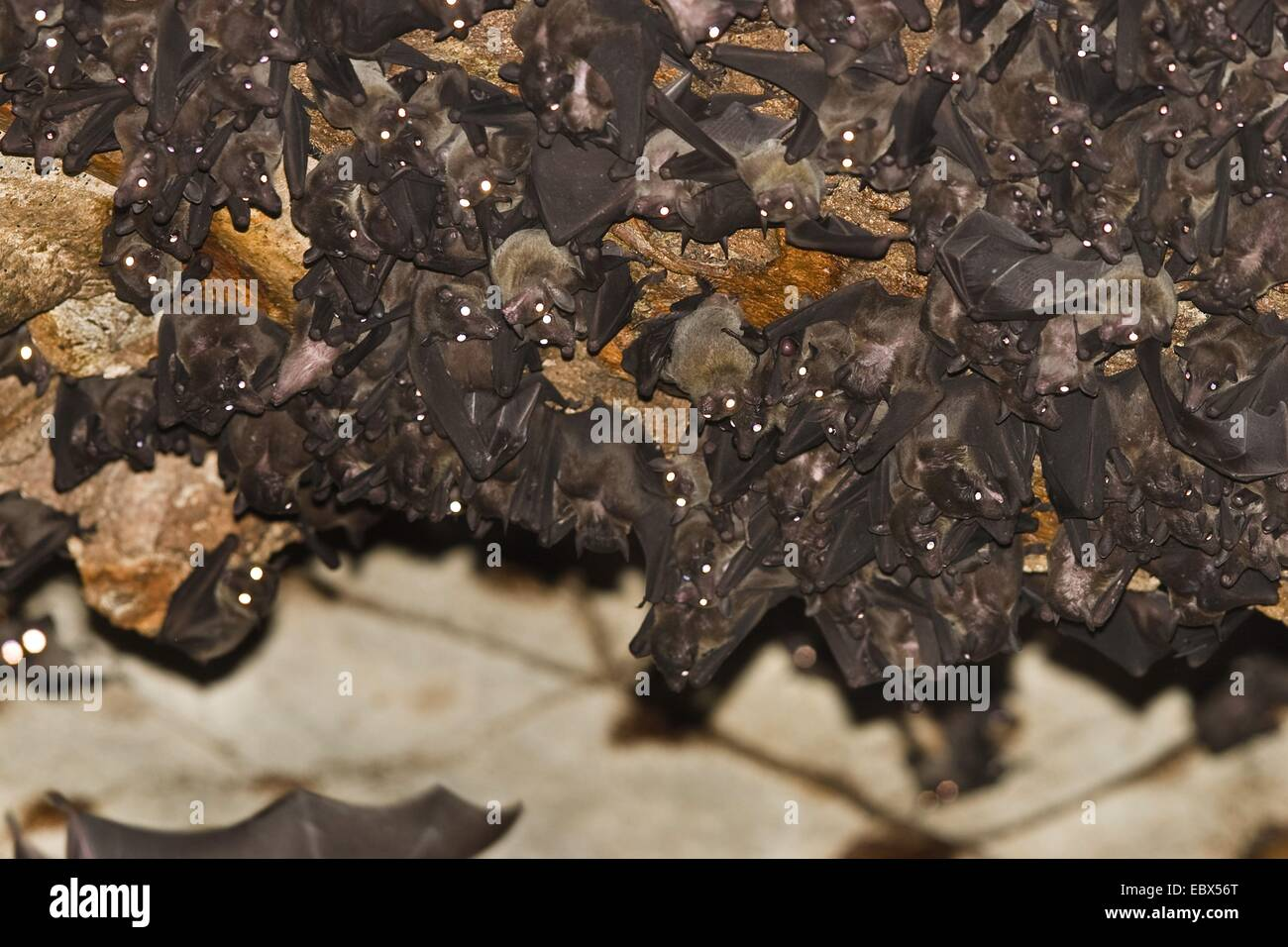 Flughunde in Hoehle (Eonycteris spelaea), Dobson's long-tounged Dawn Bats in cave, India, Andaman Islands, North - Stock Image