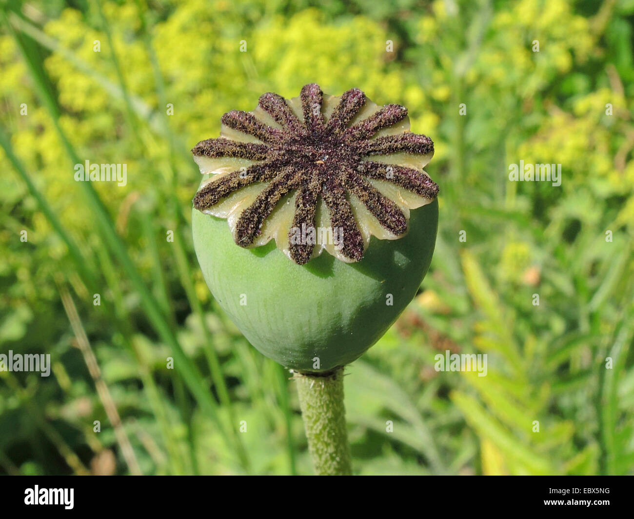 Oriental poppy (Papaver orientale), capsule - Stock Image