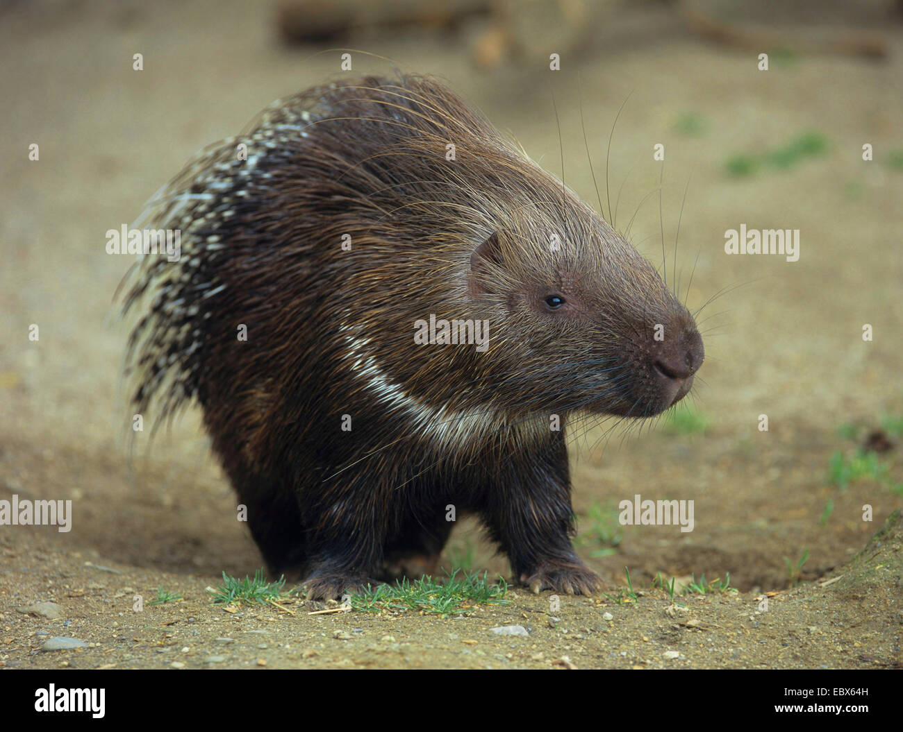 African porcupine, crested porcupine (Hystrix cristata), single individual - Stock Image