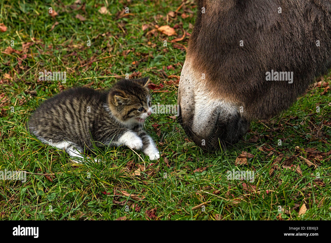 Kitten snarling at  Donkey on grass field - Stock Image