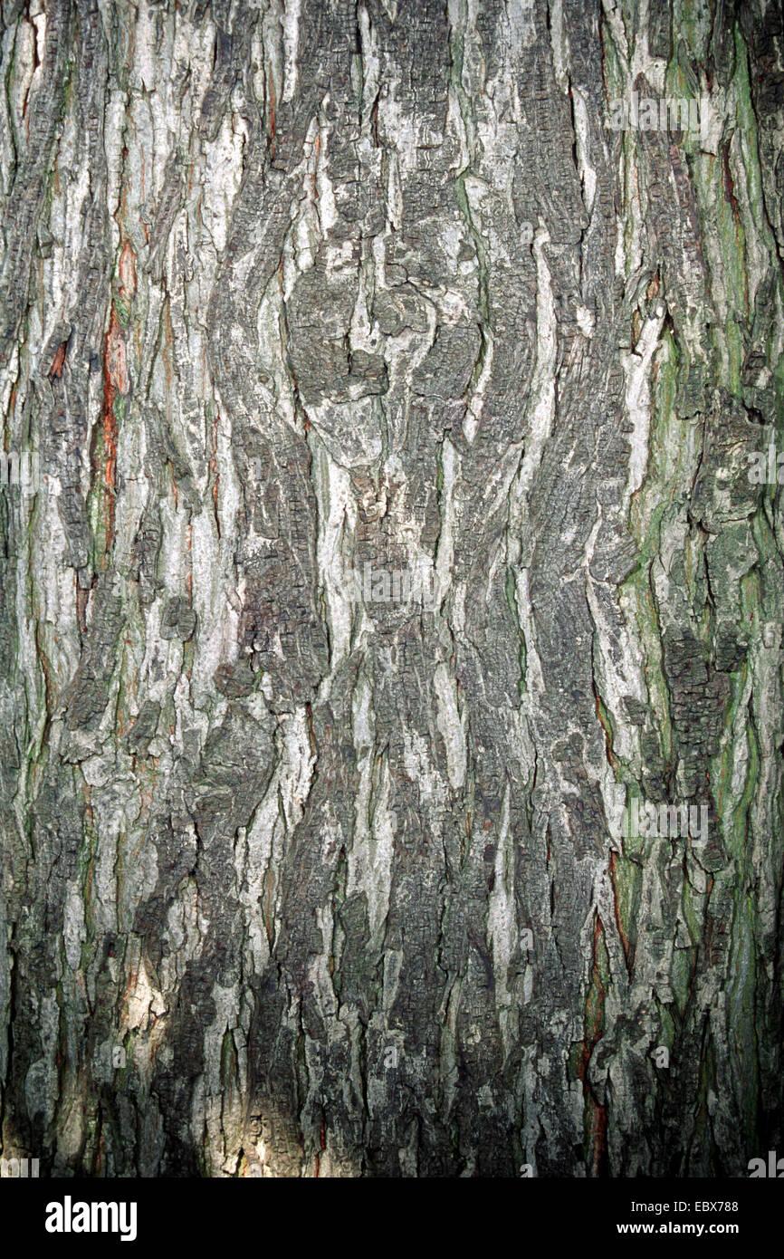 shag-bark hickory, shagbark hickory (Carya ovata), bark - Stock Image