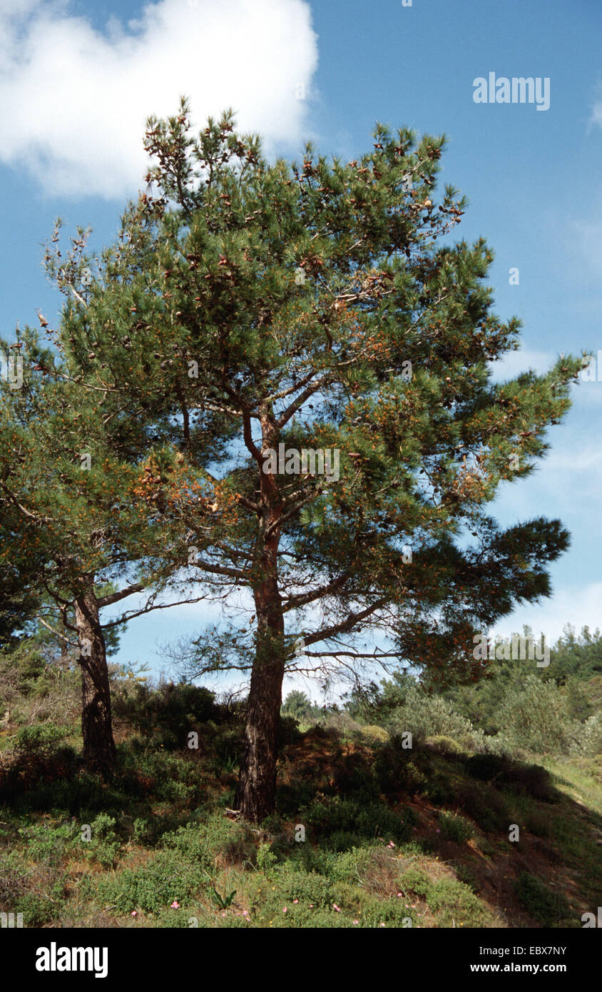 aleppo pine (Pinus halepensis), singel tree, Spain - Stock Image