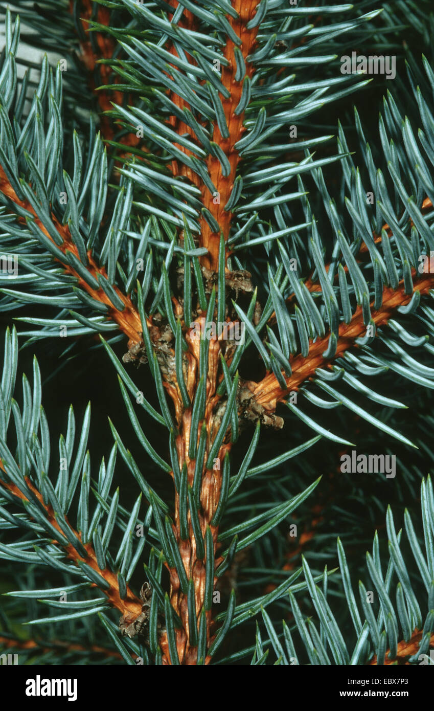 Colorado blue spruce (Picea pungens 'Glauca', Picea pungens Glauca), twig - Stock Image