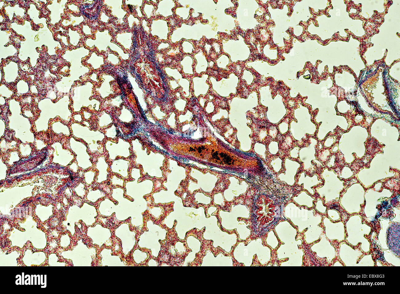 Cross section of the lung with bronchioles, alveoli and blood vessels visible - Stock Image