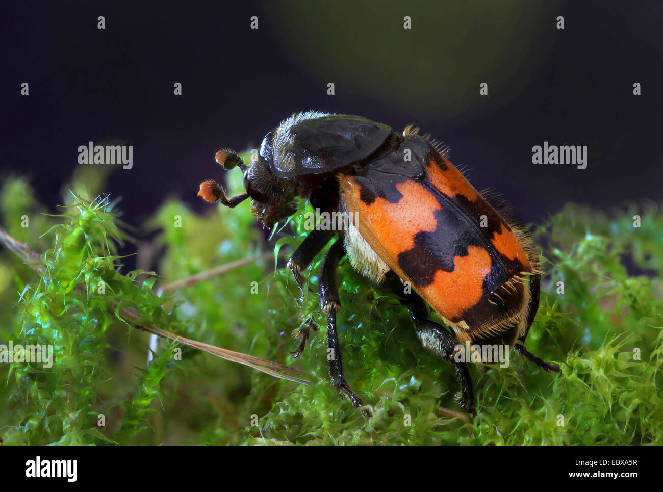 Burying Beetle (Necrophorus vespillo), on moss Stock Photo