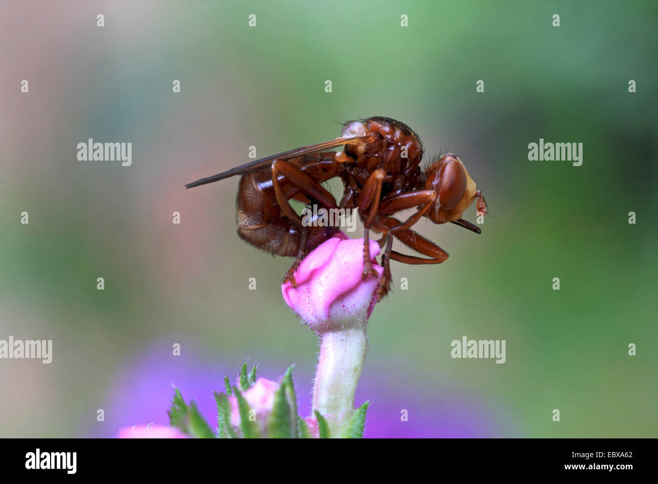 thick-headed flies (Conopidae), on a flower bud, Germany - Stock Image