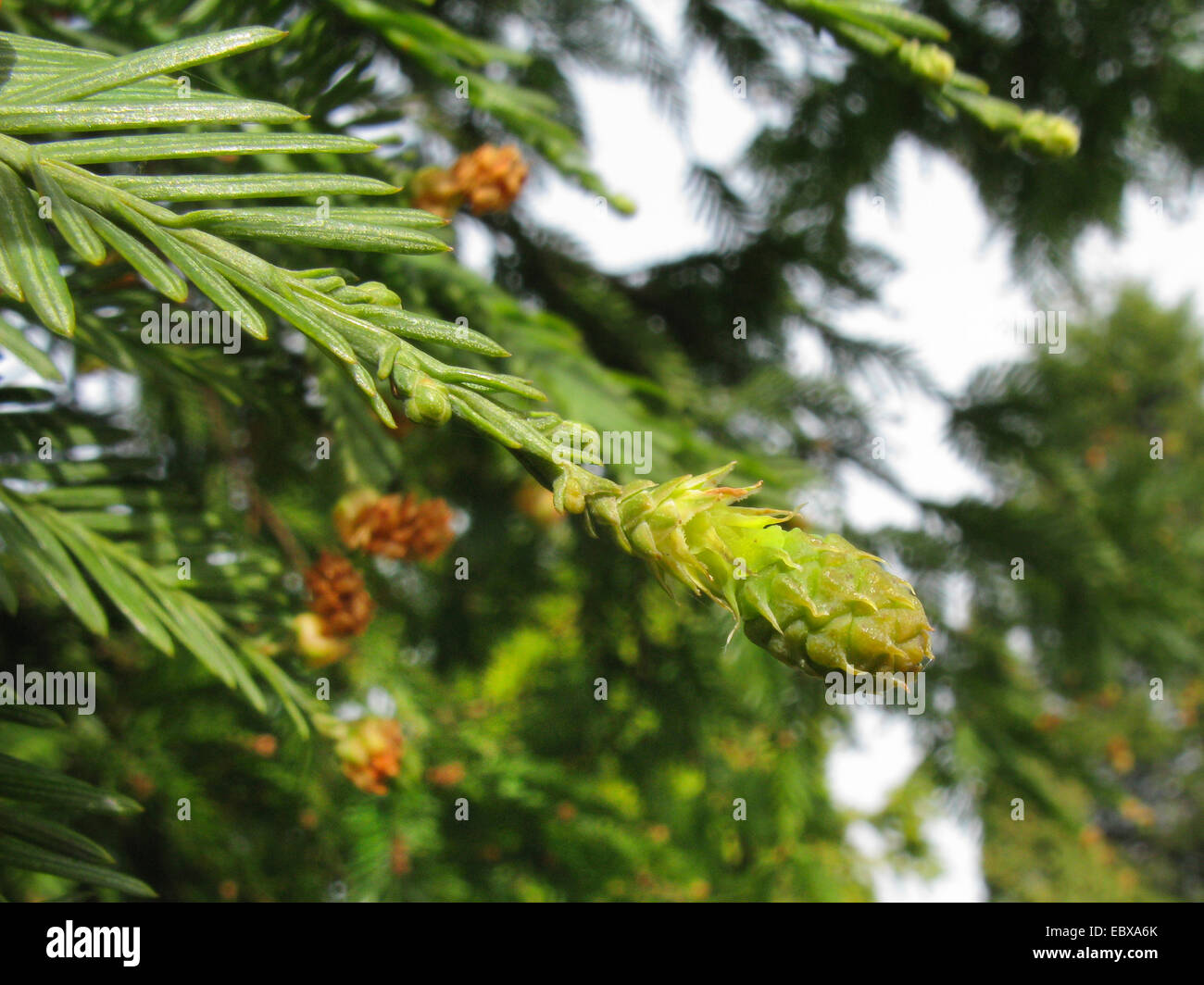 California redwood, coast redwood (Sequoia sempervirens), branch with young cone - Stock Image