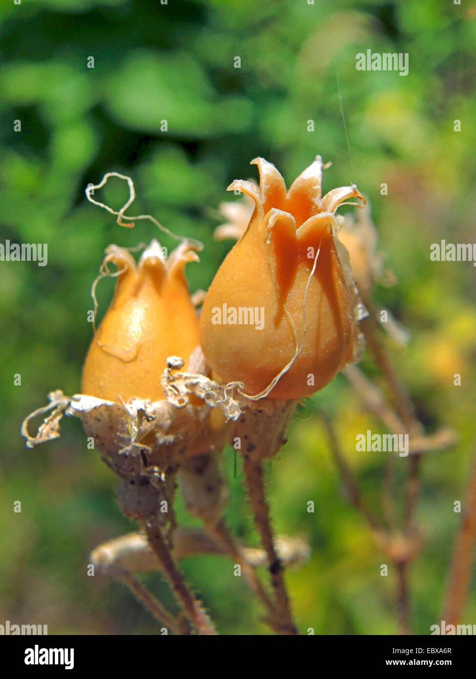 nottingham catchfly (Silene nutans), open capsule, Germany, Baden-Wuerttemberg - Stock Image