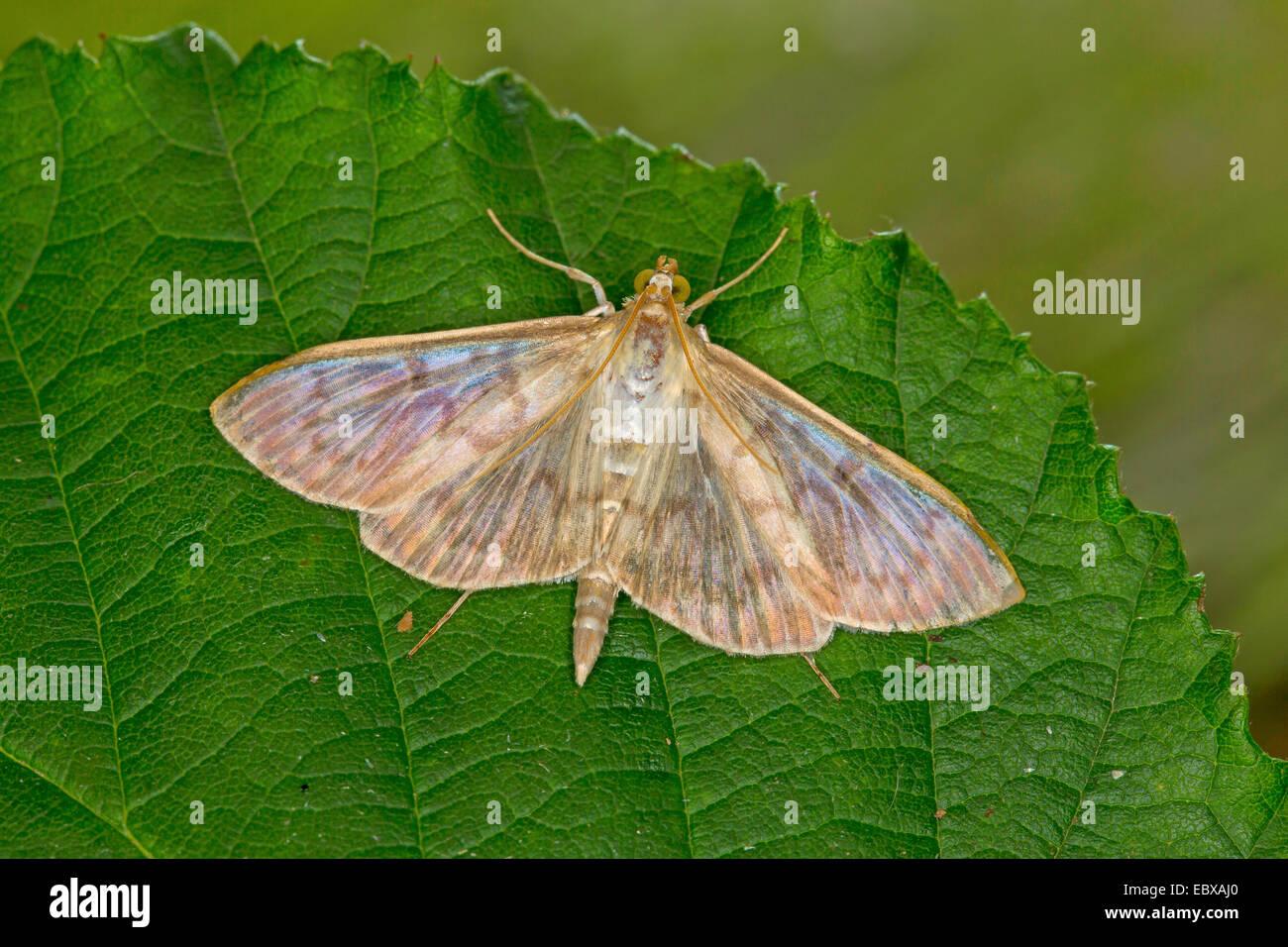 Mother of Pearl (Pleuroptya ruralis, Syllepta ruralis, Pleuroptya verticalis), on a leaf, Germany - Stock Image
