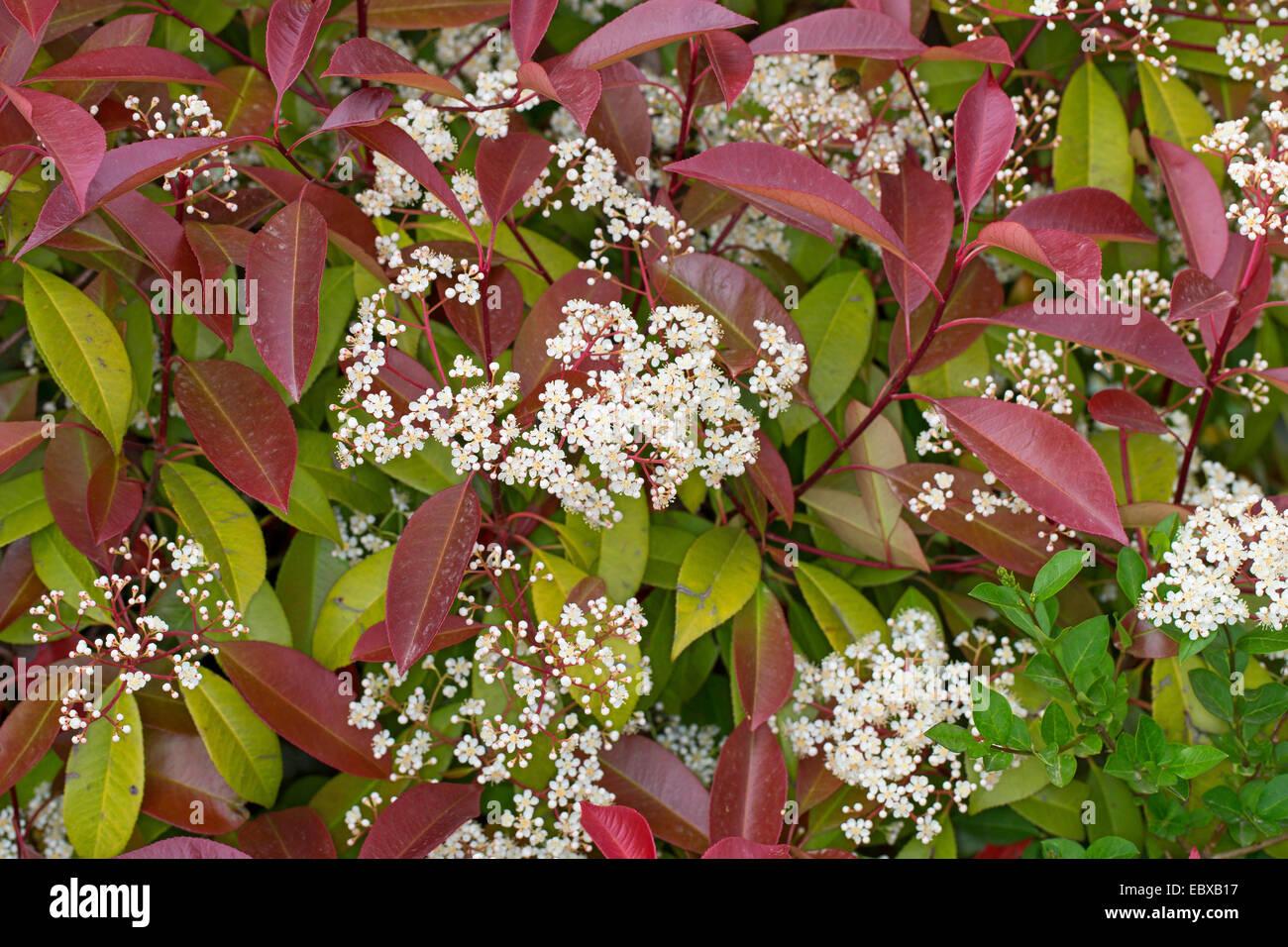 fraser photinia photinia x fraseri 39 red robin 39 photinia x fraseri stock photo 76182099 alamy