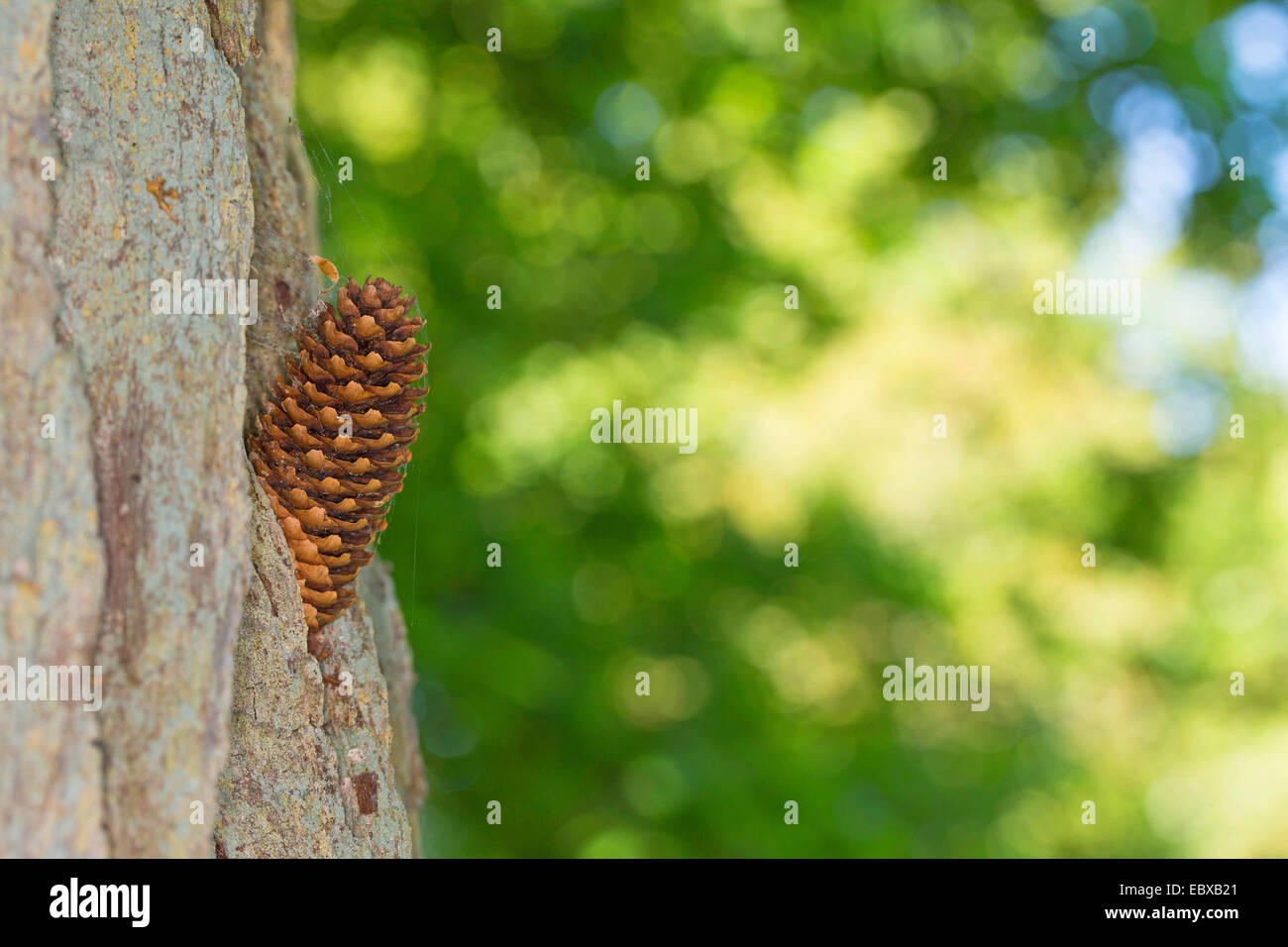 pine-cone wedged in an anvil, Germany - Stock Image
