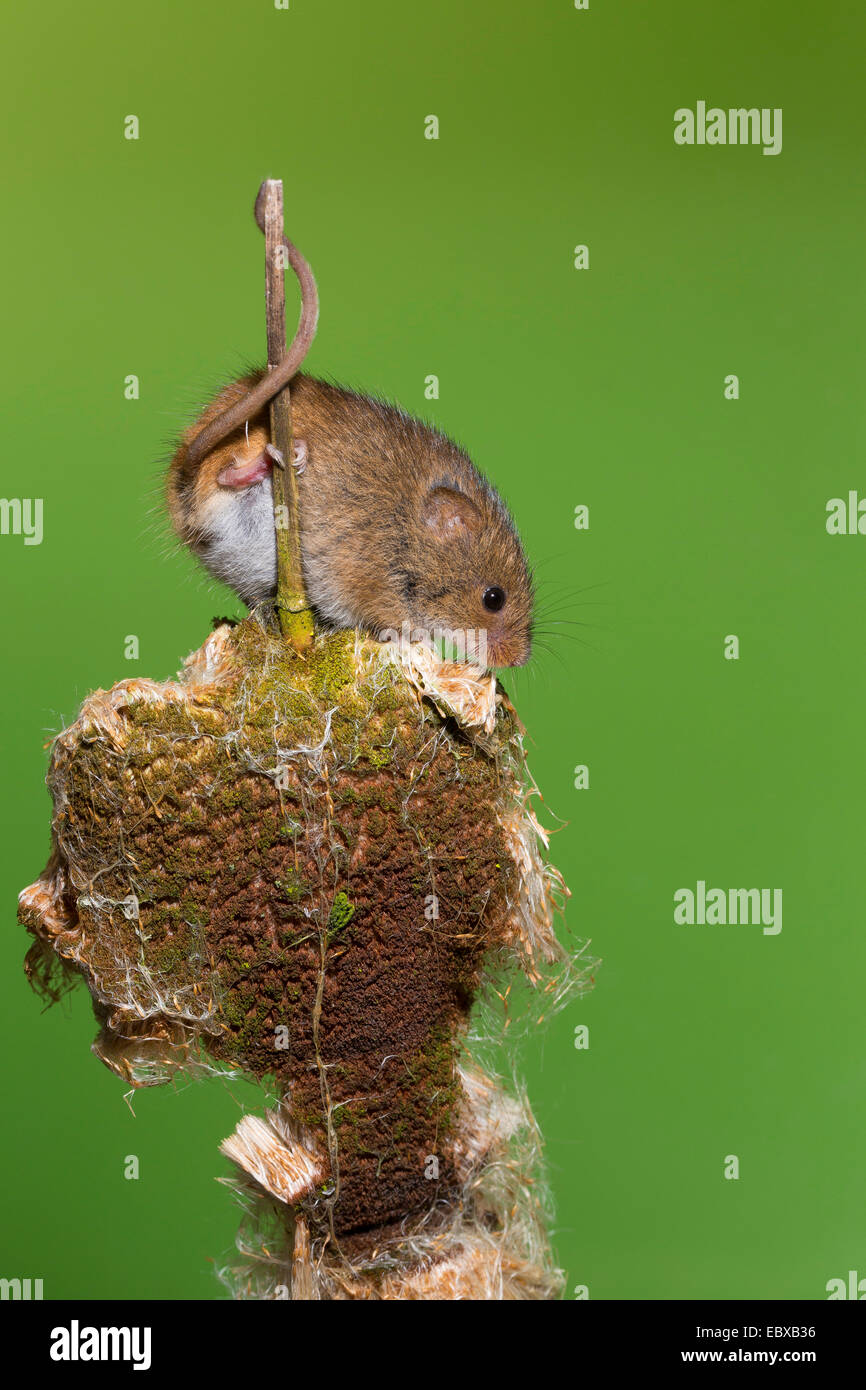 Old World harvest mouse (Micromys minutus), at cattail, grasping tail, Germany - Stock Image