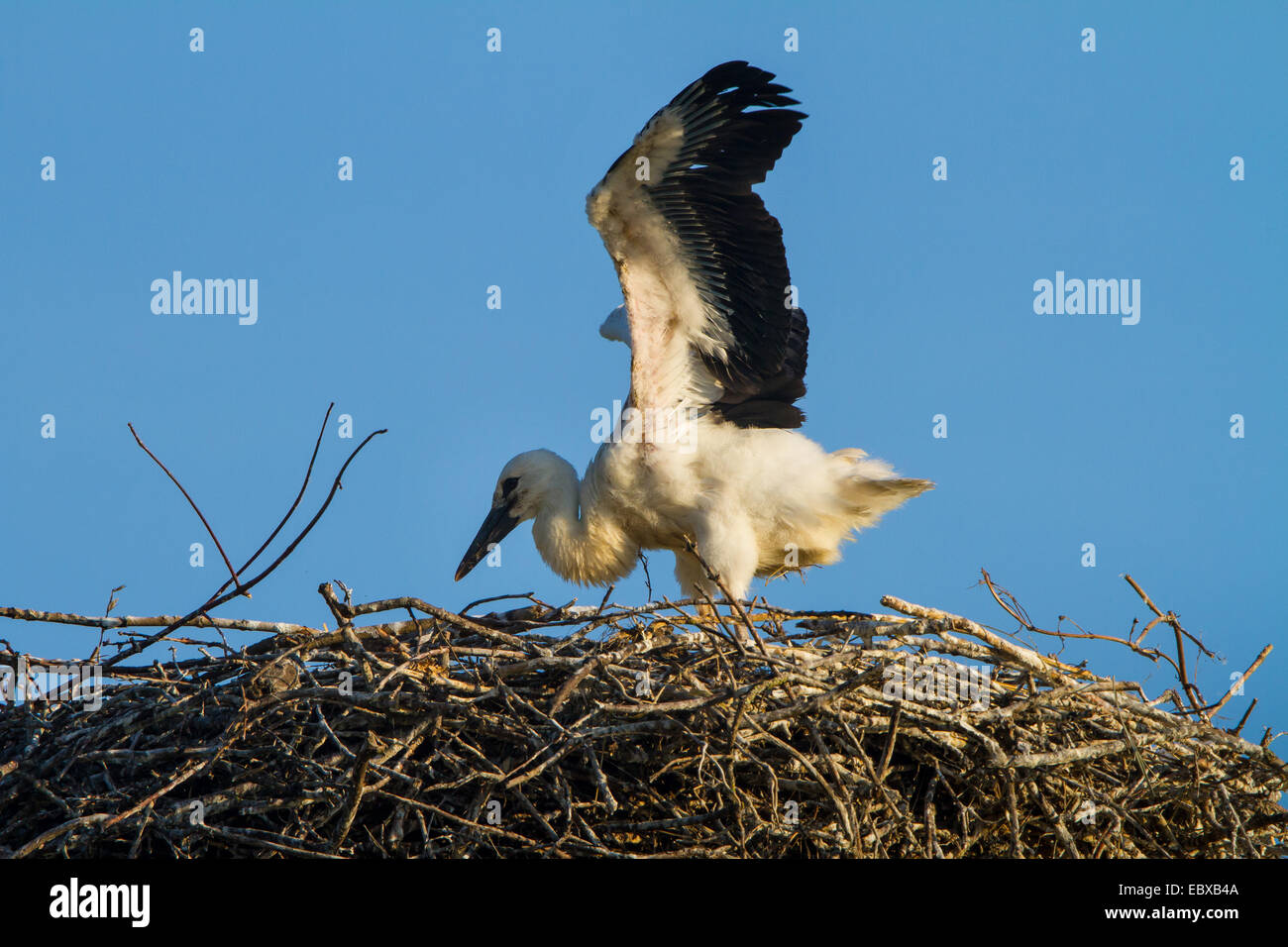 white stork (Ciconia ciconia), chick flapping wings, Switzerland, Sankt Gallen - Stock Image