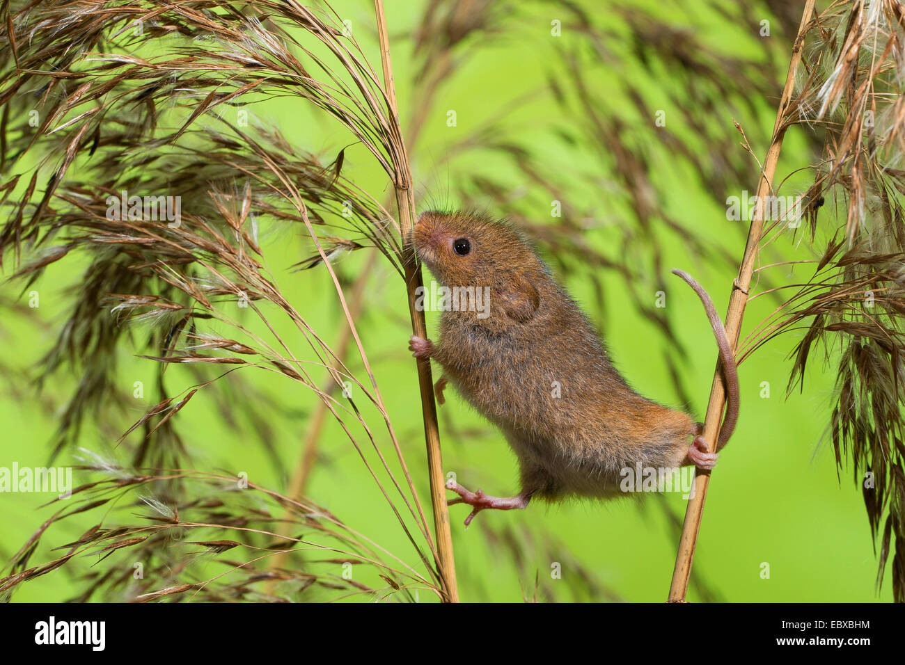 Old World harvest mouse (Micromys minutus), climbing from one to the other stem, grasping tail, Germany - Stock Image