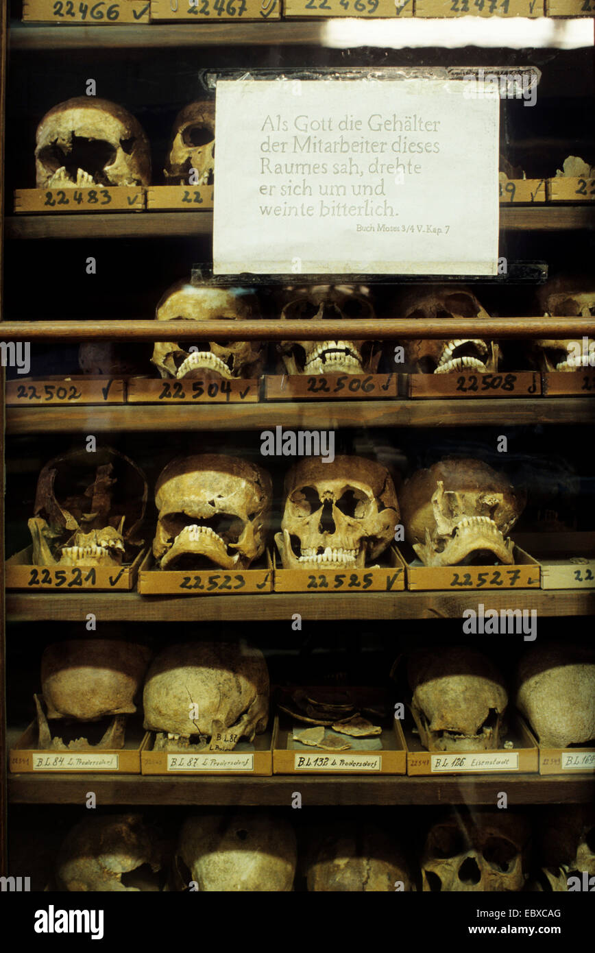 human skulls in a museum of natural history. Paper with humorous text, concerning the wage of the employees of the - Stock Image