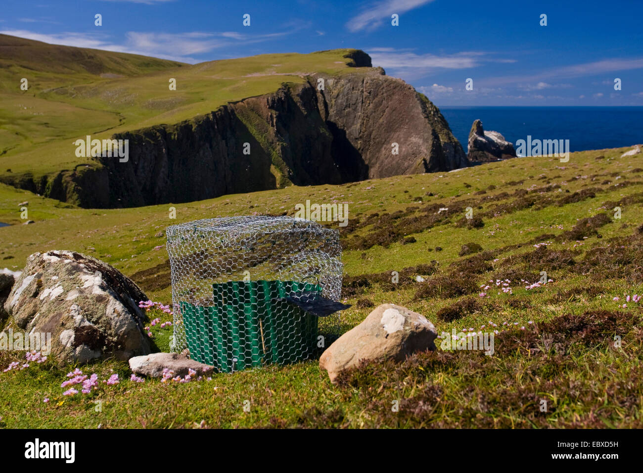 small trap with lure for snaring song birds, United Kingdom, Scotland, Shetland Islands, Fair Isle - Stock Image