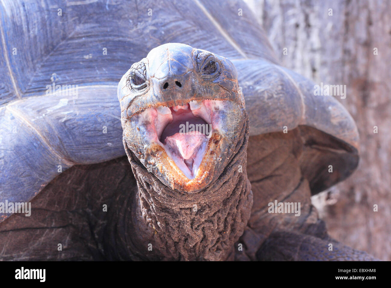 A close up image of a free living giant tortoise on the Seychelles island of La Digue - August 2013 - Stock Image