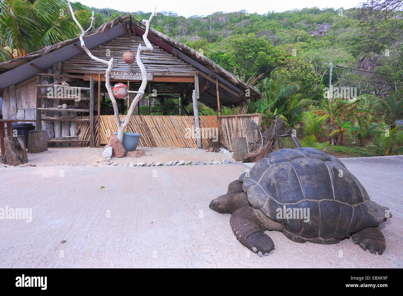 A free living giant tortoise moves on a road on the Seychelles island of La Digue - August 2013 - Stock Image