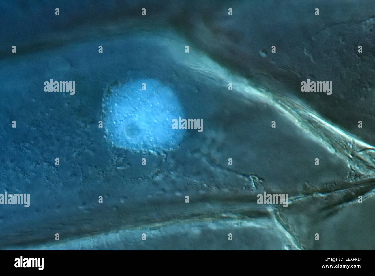 Cell wall, nucleus, and organelles of onion bulb scale epidermis cells - Stock Image