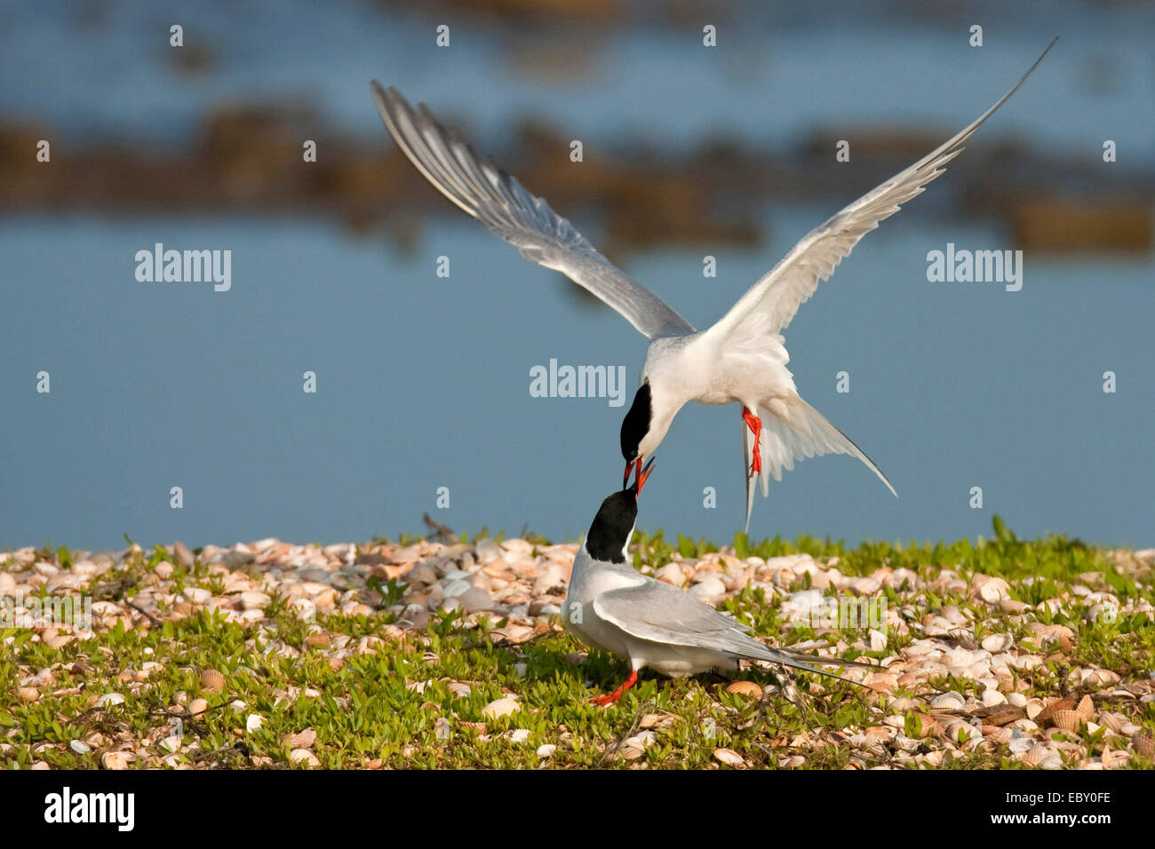 common tern (Sterna hirundo), two birds attacking each other at a shore covered with grass and countless seashells, - Stock Image