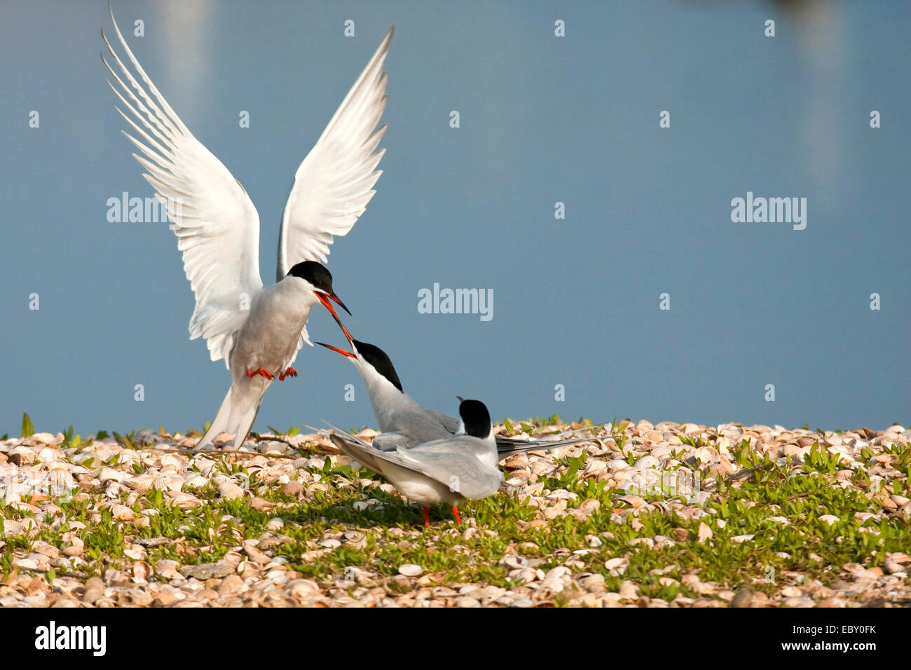 common tern (Sterna hirundo), three birds attacking each other at a shore covered with grass and countless seashells, - Stock Image