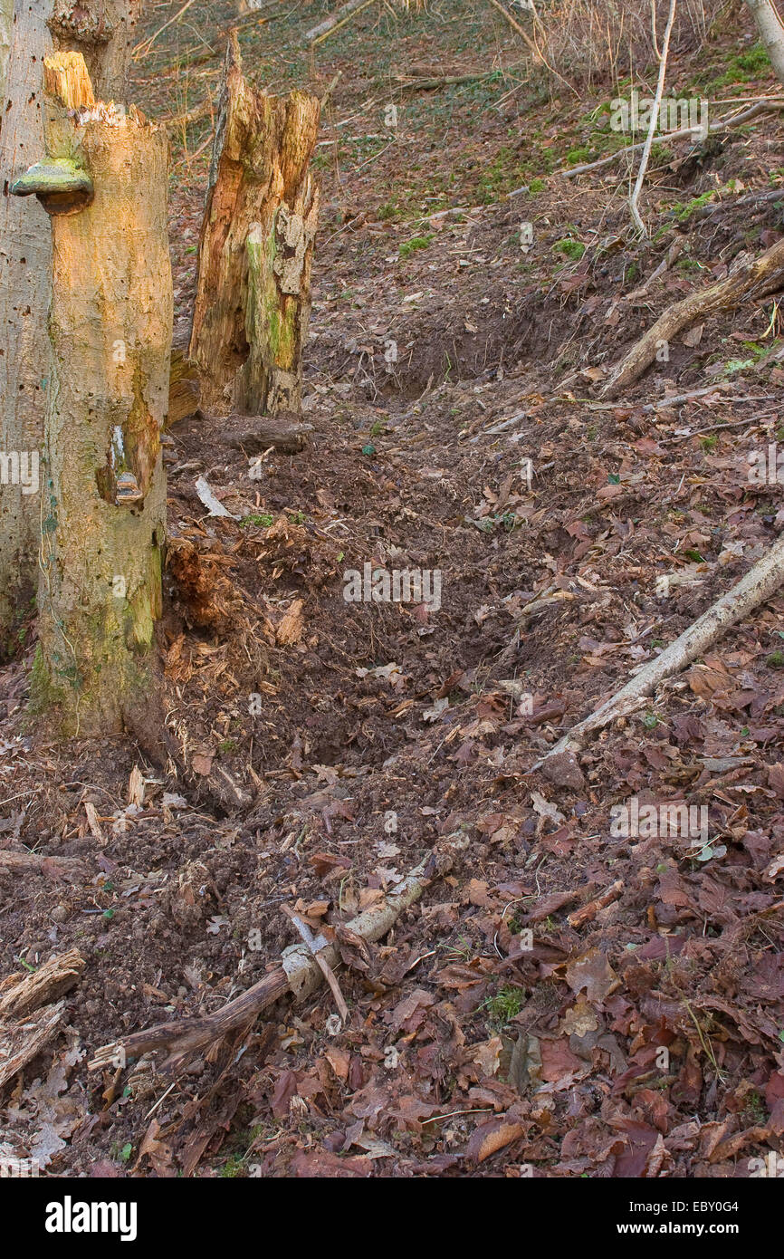 wild boar, pig, wild boar (Sus scrofa), forest ground raked up in search of food, Germany - Stock Image