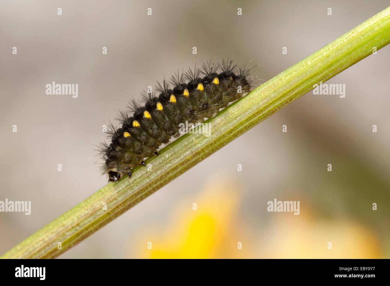 Mountain Burnet or Scotch Burnet (Zygaena exulans), caterpillar, Sanetschpass, Bernese Alps, Canton of Valais, Switzerland - Stock Image