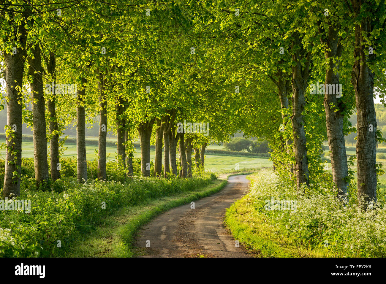 Tree lined country lane in rural Dorset, England. Spring (May) 2014. - Stock Image