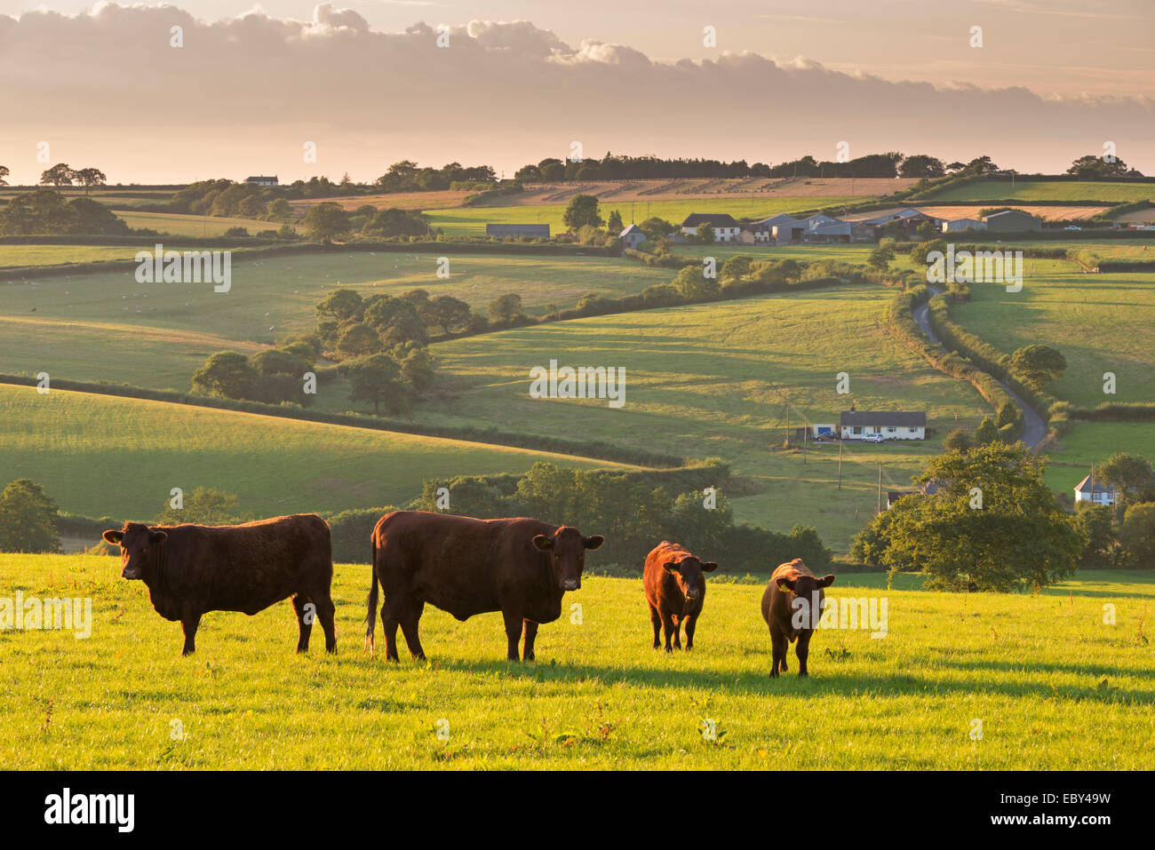 North Devon Red Ruby cattle herd grazing in the rolling countryside, Black Dog, Devon, England. Summer (July) 2014. - Stock Image