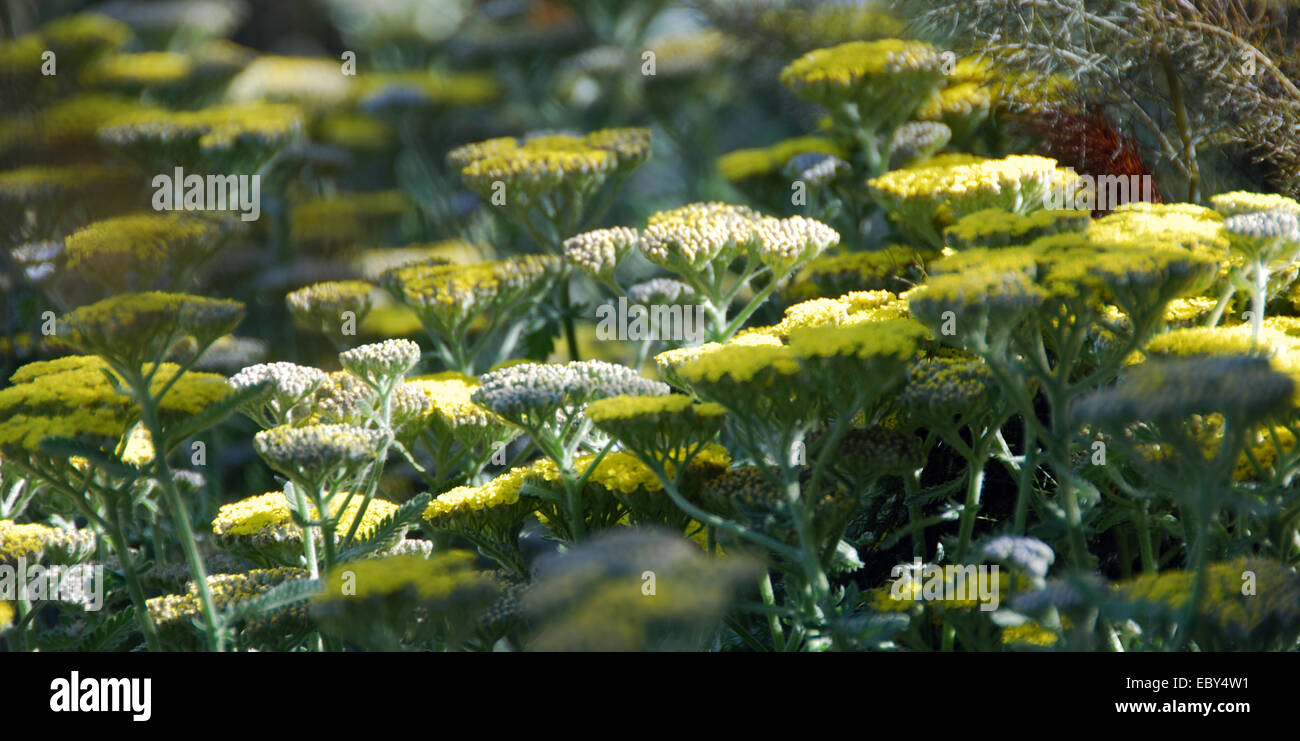 Yarrow: Achillea 'Moonshine' - Stock Image
