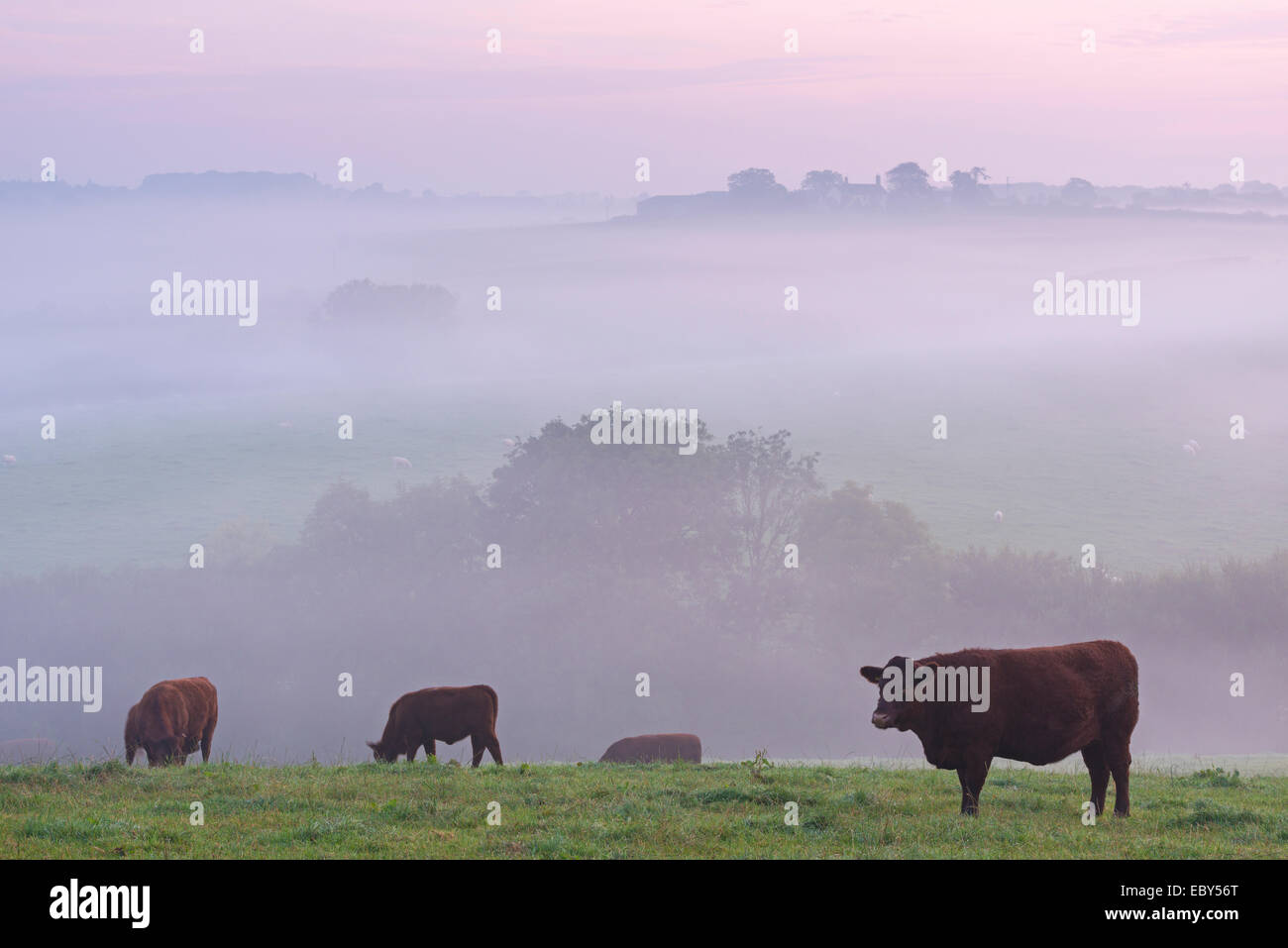 Red Ruby cattle grazing in the Devon countryside at dawn on a misty morning, Black Dog, Devon, England. Autumn (September) - Stock Image