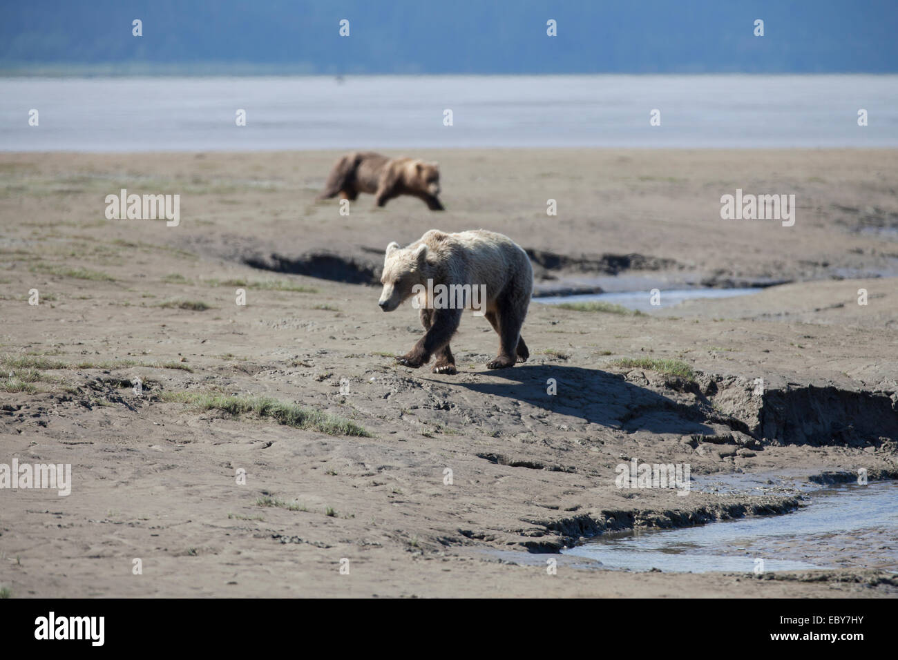 Coastal Brown bear in Chinitna Bay, Kenai Peninsula Borough, Alaska, USA - Stock Image