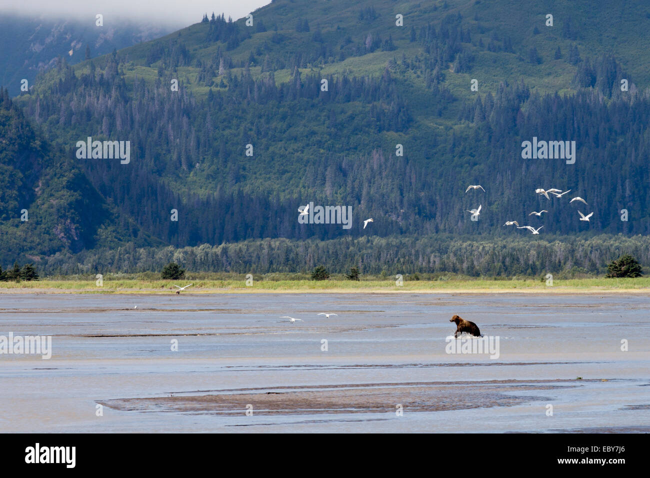 Coastal Brown bear in Chinitna Bay, Kenai Peninsula Borough, Alaska, USA Stock Photo