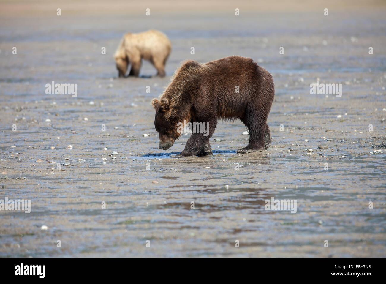 Coastal Brown bear in Chinitna Bay, Kenai Peninsula Borough, Alaska, USA Stock Photo