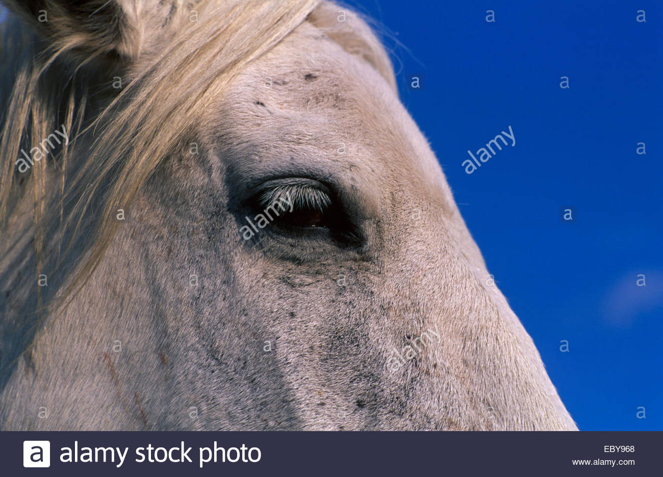 Camargue, Profile of a horse - Stock Image