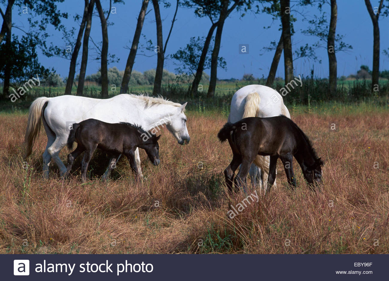 Camargue, Horse and foals - Stock Image