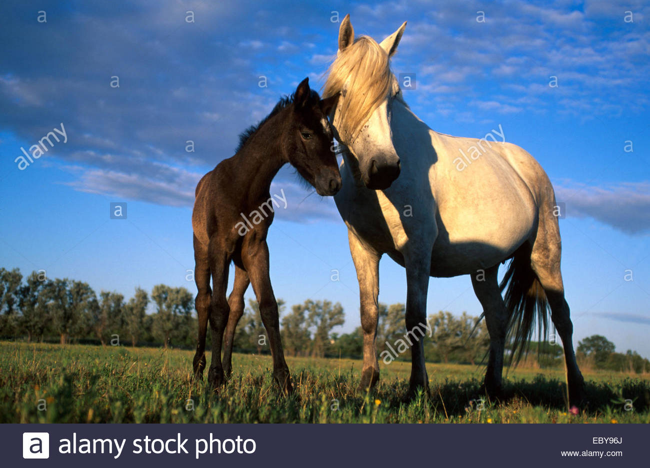 Camargue, Mare and foal - Stock Image