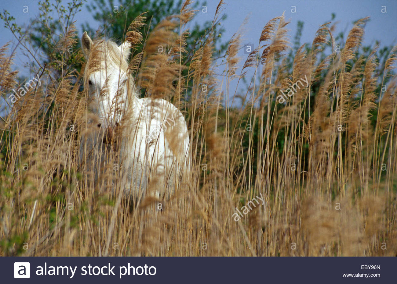 Horse of Camargue - Stock Image
